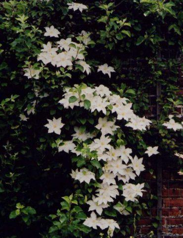 Сорт образует цветки из восьми чисто-белых, с пурпурной каймой по волнистому краю листочков