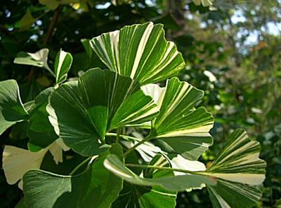 Пестрые листья с кремово-белыми пятнами