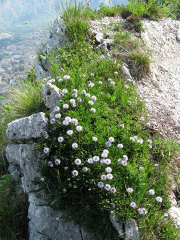 Головчатые соцветия лилово-голубые