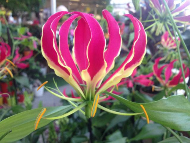Яркие сиреневые компактные соцветия