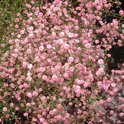 Цветки махровые, светло-розовые