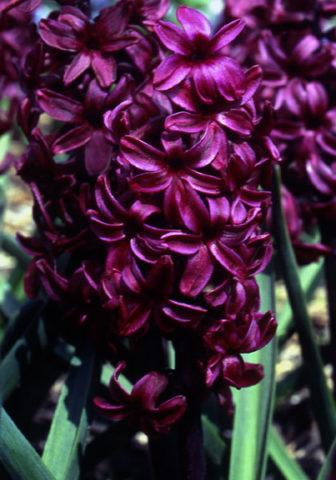 Цветки бордово-фиолетовые