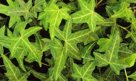 Глубоколопастные серо-зеленые листья