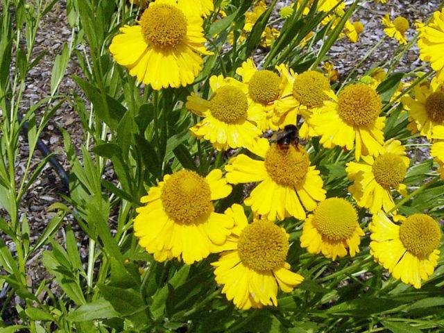 Соцветия светло-желтые