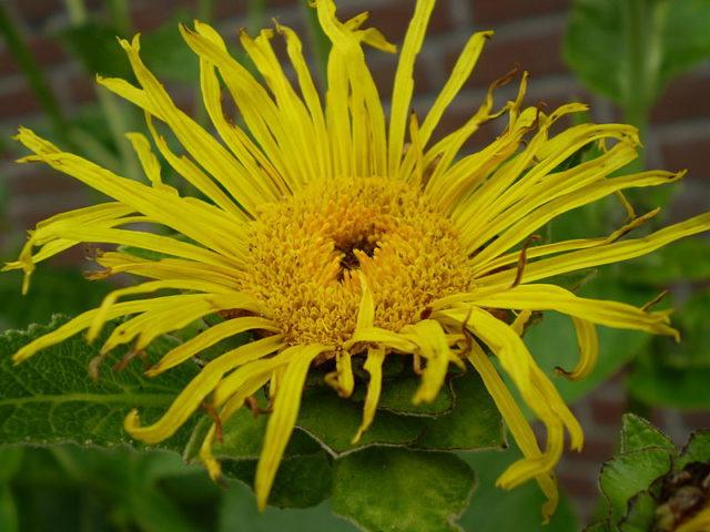 Соцветия желто-оранжевые до 9 см в диаметре