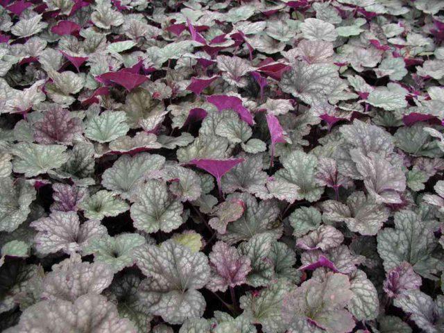 Листья широкие, медно-фиолетовые