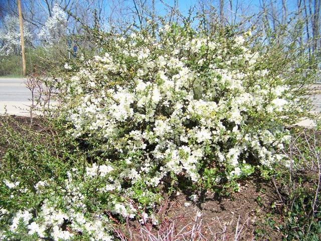 Сорт образует множество чисто-белых цветков