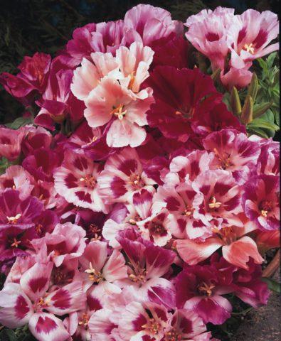 """Azalea-Flowered"""