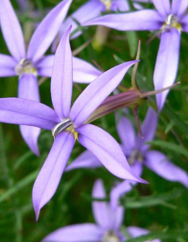 Цветки сорта небесно-голубые