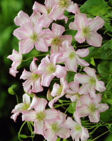 Цветки кремово-белые