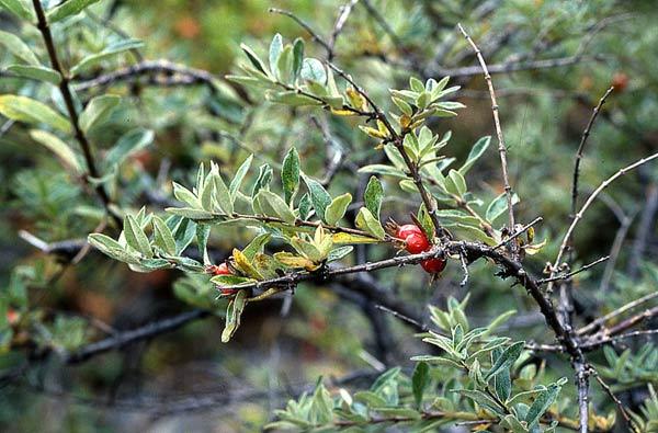 Листья серо-зеленые, мелкие