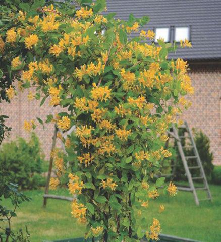 Яркие крупные соцветия медно-желтых цветков