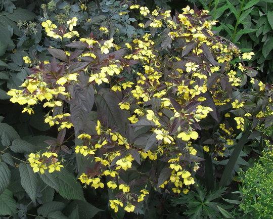 Желтые звездчатые цветки
