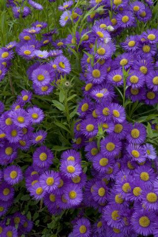 Темно-фиолетовые соцветия
