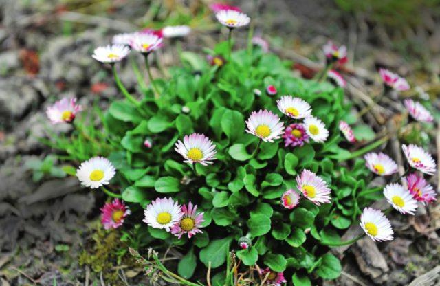 Соцветия махровые, белые, с розовыми штрихами