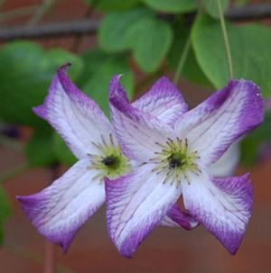 Сорт с белыми листочками околоцветника, окаймленными пурпурно-сиреневой полосой