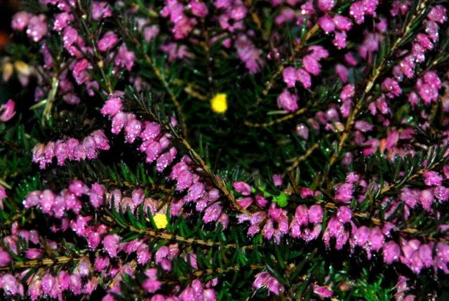 Аметистовые цветки