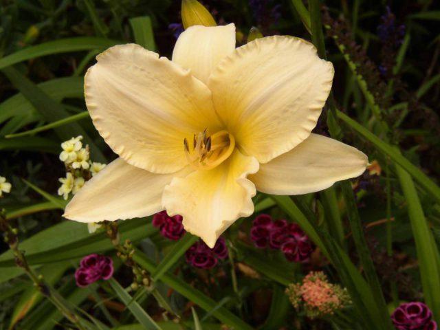 Цветки широко раскрытые