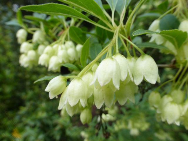 Цветки белые