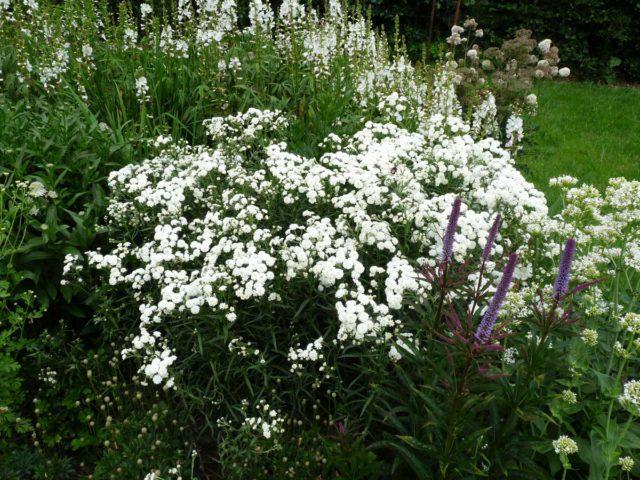 Корзинки с короткими белыми краевыми цветками