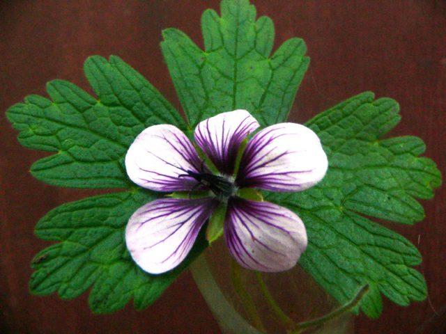 Стелющееся растение, летом образует округлые светлые фиолетово-пурпурные цветки