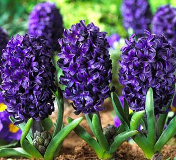 Фиолетово-голубые цветки
