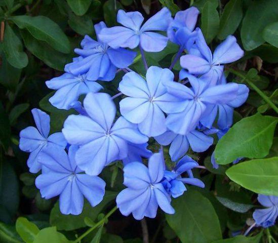 Однотонные голубые соцветия