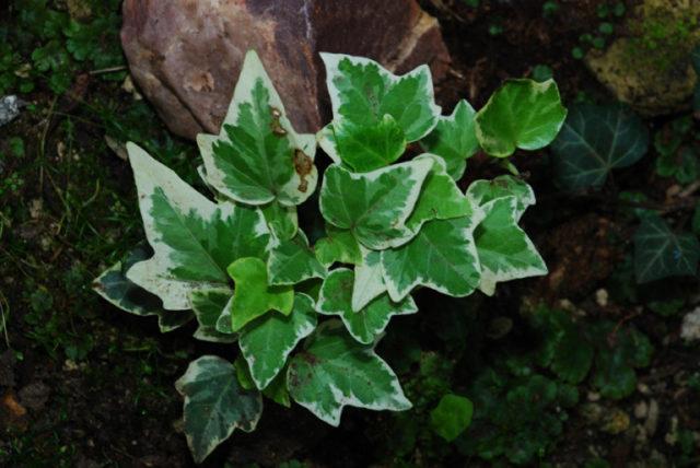 Стреловидные глубокорассеченные темно-зеленые листья