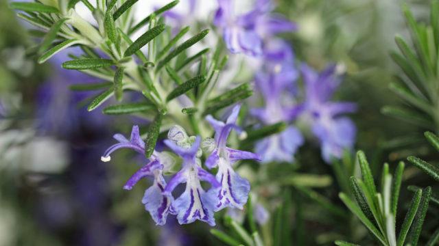 Цветет пурпурными махровыми соцветиями