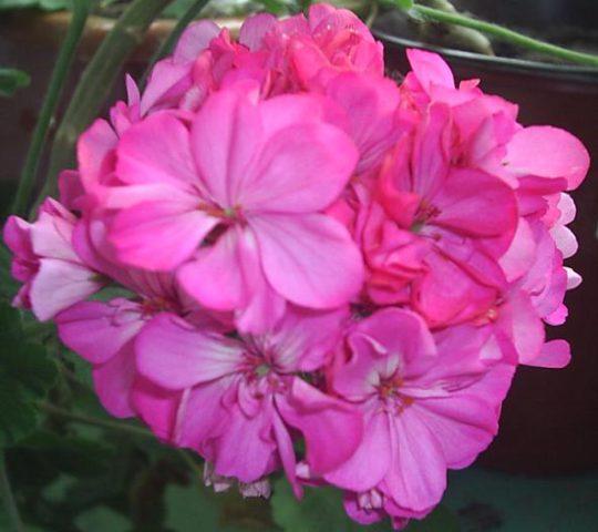 Цветки яркие розово-фуксиновые