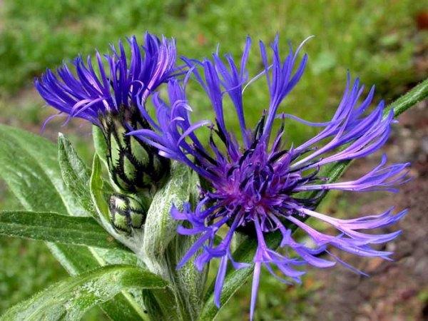 Соцветия пурпурные или фиолетово-синие