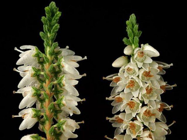 Белые цветки выделяются на фоне листвы
