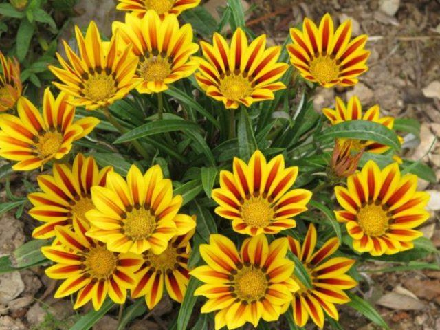 Серые листья и оранжевые соцветия