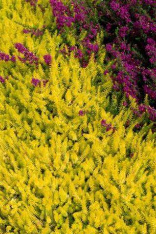 Сорт с желтыми листьями и перламутрово-розовыми цветками