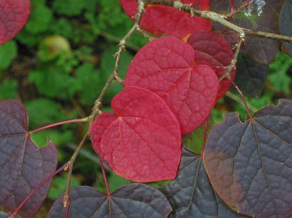 Округлые или сердцевидные листья