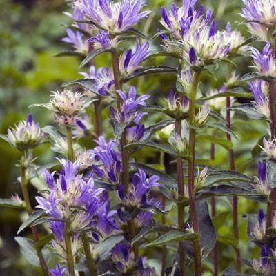 Цветки чашевидные