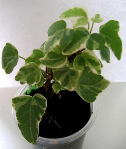 Густоветвистое растение