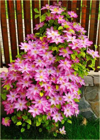Цветки состоят из 6-7 крупных розово-карминовых листочков