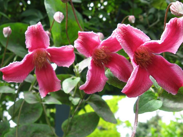 Сорт образует трубчатые поникающие вишнево-пурпурные цветки
