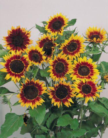 Светло-желтые соцветия