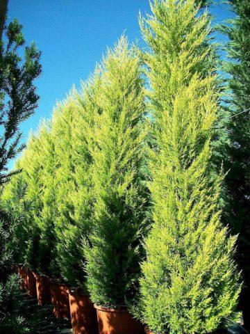 Дерево до 15 м высотой