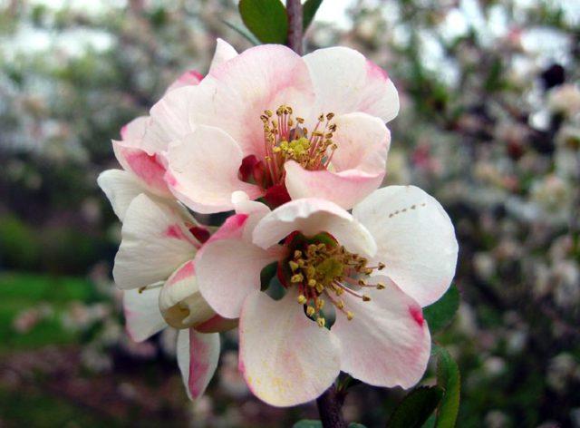 Цветки многочисленные, белые, с розовым оттенком