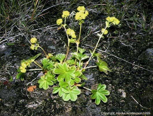 A. faeroensis