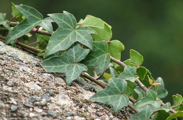 Листья до 7,5 см длиной