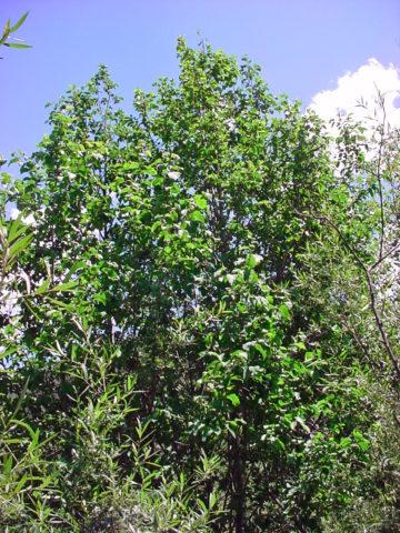 Прямостоячее дерево
