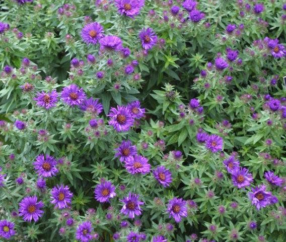 Сине-пурпурные соцветия