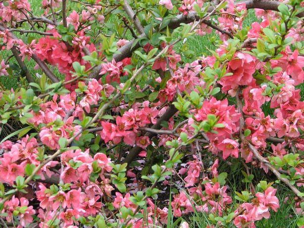 Цветки темно-розовые в бутонах