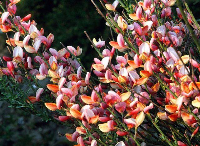 Цветки около 7 мм длиной