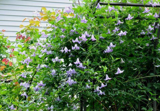 Цветки мелкие, белые, оттененные фиолетовым