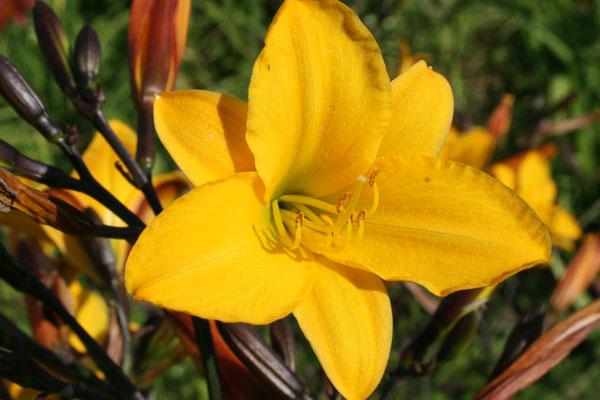 Цветки колокольчатые, темно-желтые